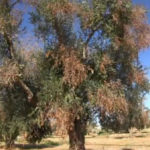 ulivo affetto da Xylella fastidiosa 2